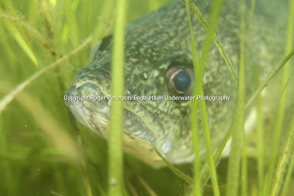 Walleye in underwater vegetation<br /> <br /> Roger Peterson/ENGBRETSONUNDERWATER PHOTO