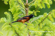 01618-01619 Orchard Oriole (Icterus spurius) male in spruce tree Marion Co. IL