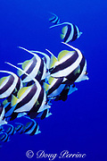 longfin bannerfish, Heniochus acuminatus, Tiputa Pass, Rangiroa Atoll, Tuamotu Islands, French Polynesia ( South Pacific )