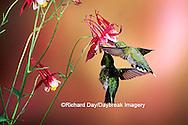 01162-070.15 Ruby-throated Hummingbirds (Archilochus colubris) male & female on Crimson Star Columbine (Aquilegia x hybrida) IL