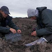 Snowy Owl, (Nyctea scandiac) Laura Phillips and Matt Seidensticker prepare noose carpet trap. Barrow, Alaska