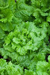 Lettuce 'Australian Yellow Leaf'. Heirloom lettuce. Lactuca sativa