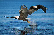 Bald eagles compete for fish, one right behind the other, Cook Inlet, Alaska, © David A. Ponton