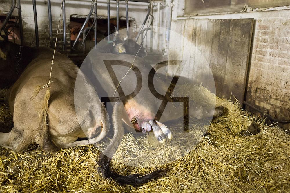 SCHWEIZ - MEISTERSCHWANDEN - Eine Kuh bringt ein Kalb zur Welt, hier die Vorderbeine und Nase - 06. Februar 2017 © Raphael Hünerfauth - http://huenerfauth.ch