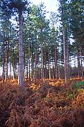 A07WW3 Suffolk Sandlings heathland bracken and conifer forestry trees England