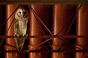 Patos de Minas_MG, Brasil...Na foto coruja pousada no telhado... In the picture owl perched on the roof...Foto: LEO DRUMOND / NITRO