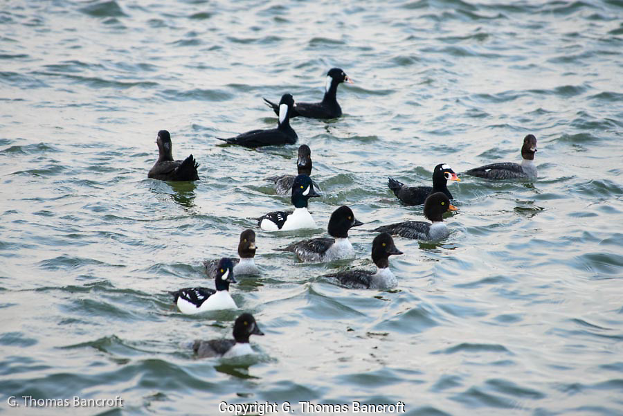 The ducks were startled by something and had their heads held high alert for possible danger.