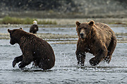 A brown bear adult chases a sub-adult bear away from his salmon fishing grounds in the lower lagoon at the McNeil River State Game Sanctuary on the Kenai Peninsula, Alaska. The remote site is accessed only with a special permit and is the world's largest seasonal population of brown bears in their natural environment.