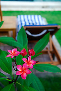 Frangipani flowers in foreground, poolside lounge chair in background. Sanur, Bali, Indonesia