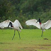 Jabiru stork, a mating pair in courship display. Pantanal, Brazil.