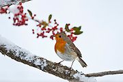 Robin perches by snowy slope and seasonal berries during winter in The Cotswolds, UK