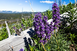 Silky Phacelia, a beautiful purple wildflower that blooms for a short time at high elevations of the Greater Yellowstone.  I found these on Dunraven Pass in Yellowstone National Park.
