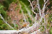 A chipmunk (Neotamias sp.) stands guard on a fallen log along the trail to Cascade Pass in North Cascades National Park, Washington.