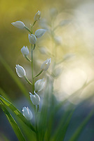 Apulia; Cephalanthera longifolia; Gargano National Park; Gargano Peninsula; Italy; Long-leafed Helleborine; Monte Sacro