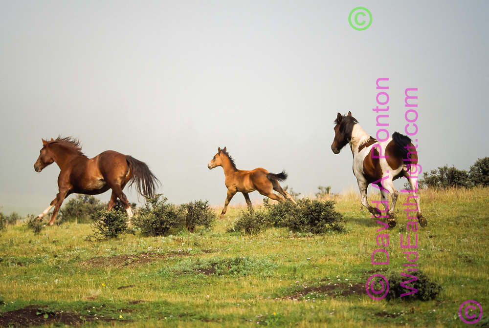 Horses with foal running over hill with fog in background, mountain meadow, Jemez Mountains, New Mexico, © David A. Ponton