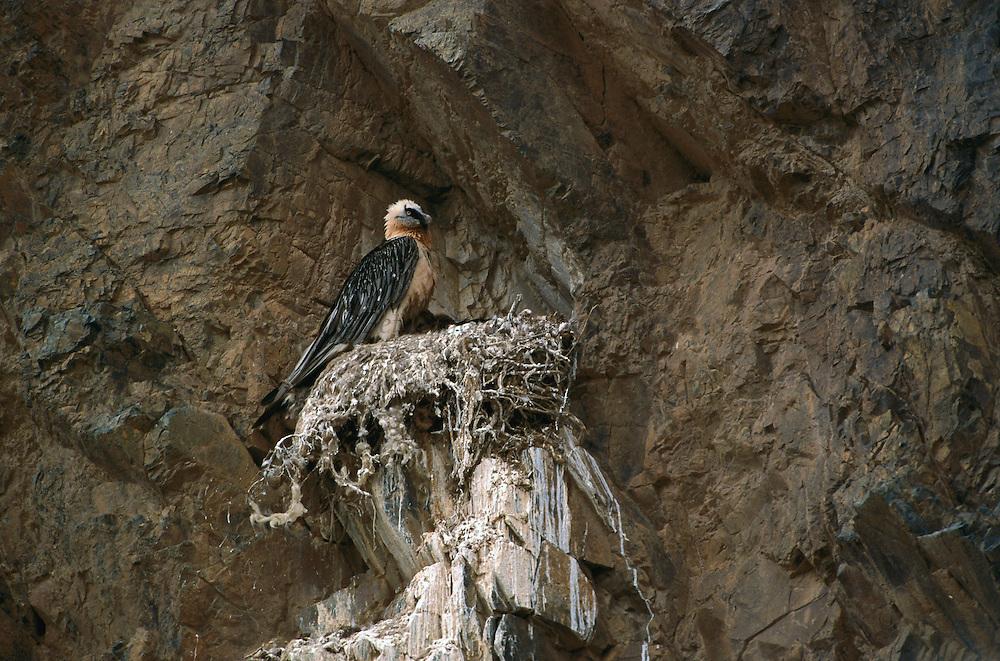 Bearded Vulture (Gypaetus barbatus) at nest, Gobi Desert, Mongolia