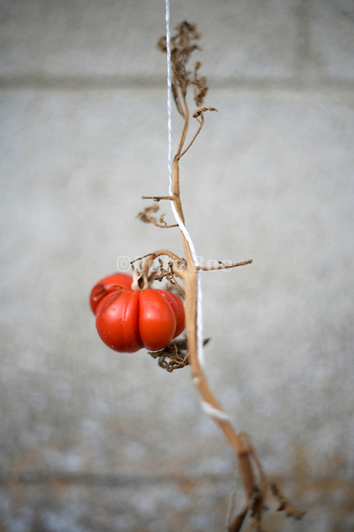 over ripe tomato on a dried up vine
