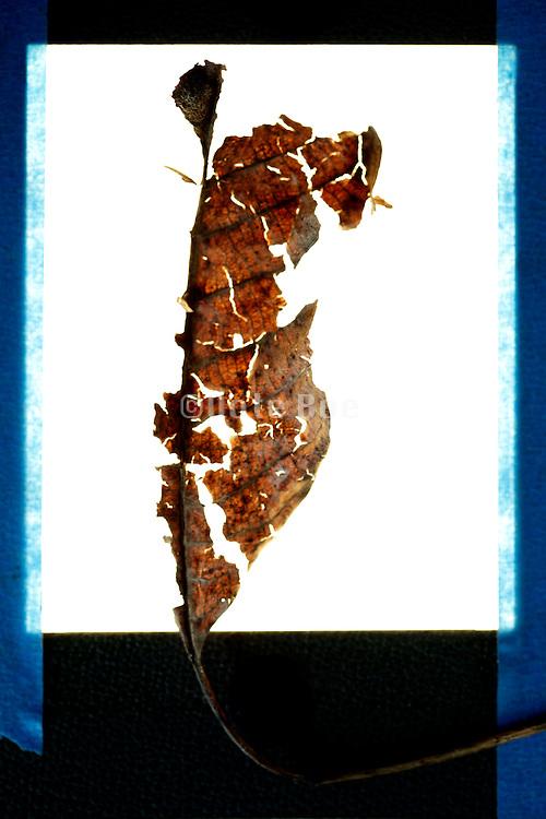 disintegrating autumn season brown leaf