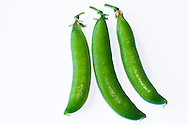 """Fresh """"Lincoln Homesteader"""" pea pods from a Fraser Valley organic vegetable garden in British Columbia, Canada"""