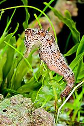longsnout seahorse or slender seahorse, Hippocampus reidi, male, showing abdominal pouch for pregnancy, Caribbean Sea, Western Atlantic Ocean