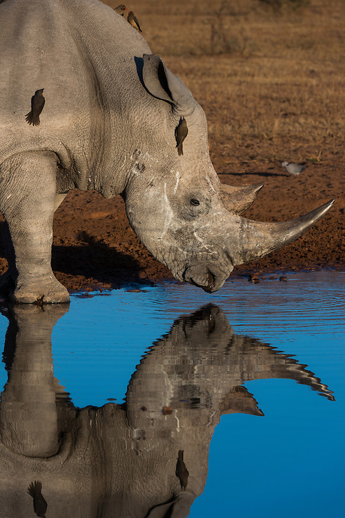 White rhinoceros (Ceratotherium simum) & redbilled oxpecker (Buphagus erythrorhynchus)<br /> Marataba, A section of the National Park, <br /> SOUTH AFRICA<br /> RANGE: Southern & East Africa<br /> ENDANGERED SPECIES