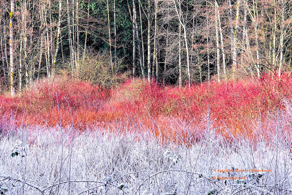 Winters' Reveal: As the dawns light enters the frost covered forest, the multi-coloured canopy is revealed in layers as the sunlight slowly melts away the frost, Campbell Valley Park, Langley British Columbia Canada.