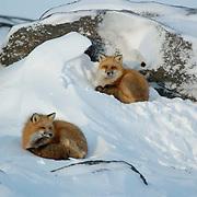 Red Fox (Vulpus fulva) A pair sleeping near Churchill, Manitoba, Canada. Winter.
