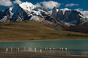 Chilean flamingo (Phoenicopterus chilensis)  on Blue lake or Lago Azul with Torres del Paine and cordiera in back<br /> Torres del Paine National Park<br /> Patagonia<br /> Magellanic region of Southern Chile<br /> Native to South America