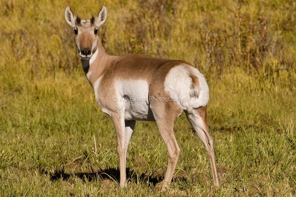 Pronghorn Antelope, Yellowstone National Park