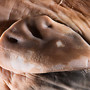 Close-up view of developing pectoral fin in prenatal sperm whale fetus. The developing bone structure of the pectoral fin is already clearly visible, even though the fetus is only 60-cm to 70cm in length, compared to a generally accepted birth size of 450cm. The origin of this specimen is not known. It was found among other preserved specimens in the teaching collection of a natural history museum.