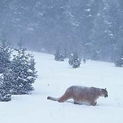 Mountain Lion or Cougar, (Felis concolor) Adult in winter snow. Rocky mountains. Montana.  Captive Animal.