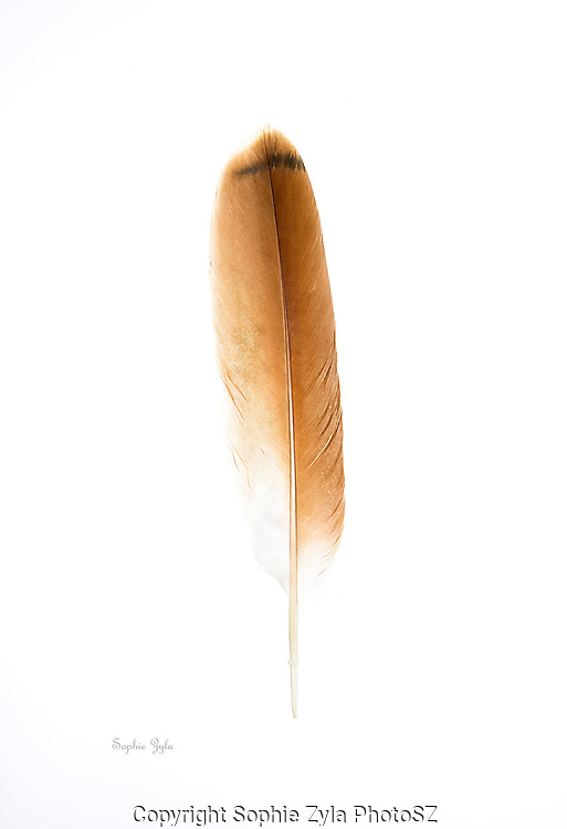 Red-tailed Hawk Tail Feather