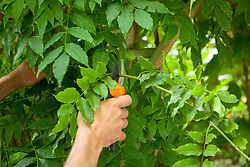 Summer pruning a wisteria - removing long, whippy green shoots after flowering to encourage the formation of flower buds.