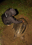 Green Sea turtle, Sukamade Beach, Meru Betiri National Park, East Java, Indonesia, Southeast Asia