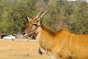 Eland Taurotragus oryx, antelope