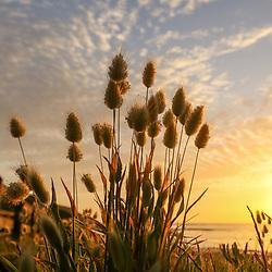 $45.00 Long Reef, 20 Nov 2020 Mrs SPoY @mrsspoy $45, Haretail grass, Long Reef, @mrsspoy, 20th November