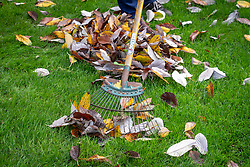 Using a tine rake to gather leaves off a lawn in autumn