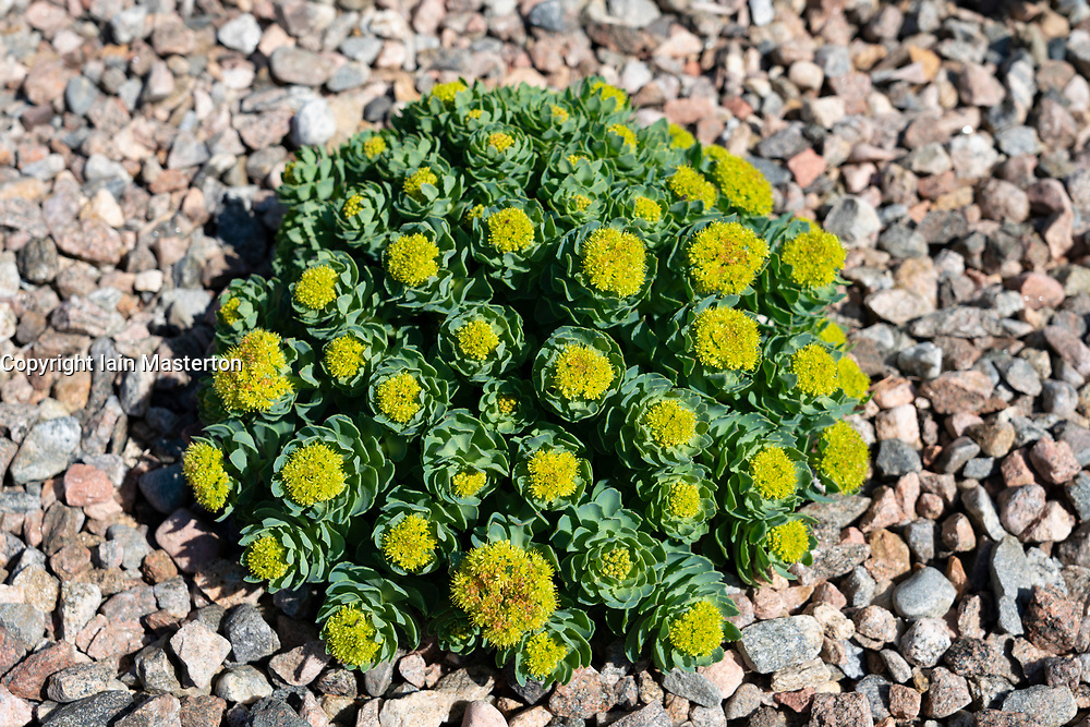 Rhodiola Rosea or Rock Rose growing at Dunnet Bay Distillery in Caithness on  the North Coast 500 scenic driving route in northern Scotland, UK