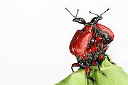[captive] Hazel Leaf-roller Weevil (Apoderus coryli) Westensee, Germany | Noch während das Weibchen an der Blattrolle arbeitet, streiten sich zwei männliche Haselblattroller (Apoderus coryli) um das Recht zur Paarung mit ihr.