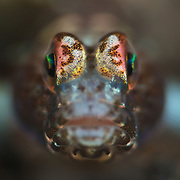 Face-on, super macro photograph of a Tomiyamichthys goby in Lembeh Strait, North Sulawesi, Indonesia.