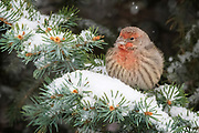 A young male house finch puffs up to stay warm during the first snow of the season in Rio Rancho, New Mexico.