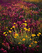 Desert Marigold, Baileya multiradiata, blooming in a bed of Owl's Clover, Orthocarpus purpurascens, Tohono O'odham Reservation, Arizona.