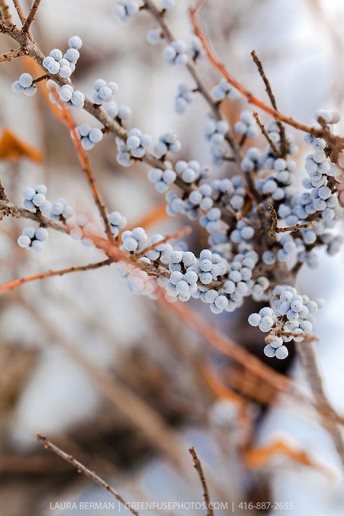 The silver-blue berries of the Bayberry bush in winter (Myrica pensylvanica)