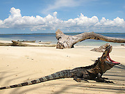 Iguana / Isla Iguana, Panamá.