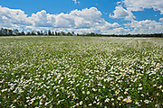 Field of common or oxeye daisy (Leucanthemum vulgare or Chrysanthemum leucanthemum) flowers<br />