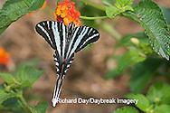03006-002.14 Zebra Swallowtail (Eurytides marcellus) on Red Spread Lantana (Lantana camara) Marion Co.  IL