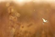 backlit Female northern banded groundling dragonfly (Brachythemis impartita) photographed in Israel in September