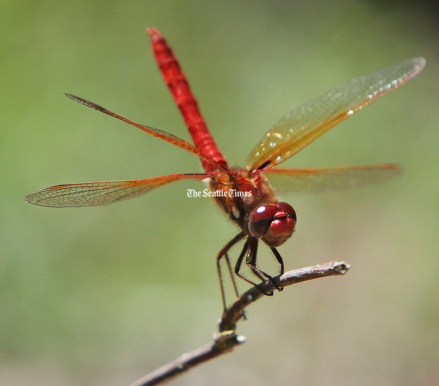 A Cardinal Meadowhawk dragonfly lands on a perch near a pond at Magnuson Park Seattle. At least 19 species of the insects call the park on Lake Washington home. (Steve Ringman / The Seattle Times)
