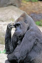 Gorilla, Franklin Park Zoo