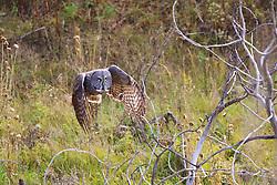 In flight, Great Grey Owl
